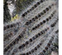 Piège à phéromones contre les Processionaires du chêne - comprend 2 pcs de phéromones