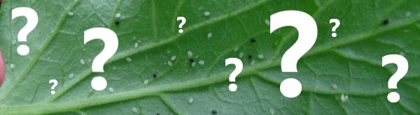 Veelgestelde vragen over sluipwespen tegen witte vlieg