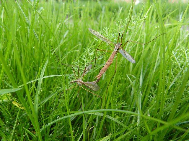 voorplanting langpootmug op gras