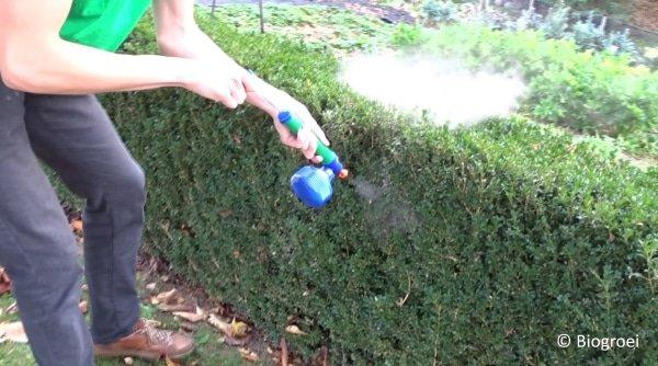 buxushaag poederen lavameel