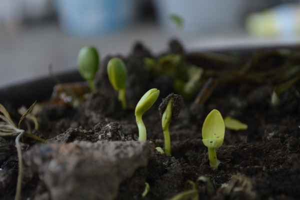 zaad kiemt sneller in wormenmest